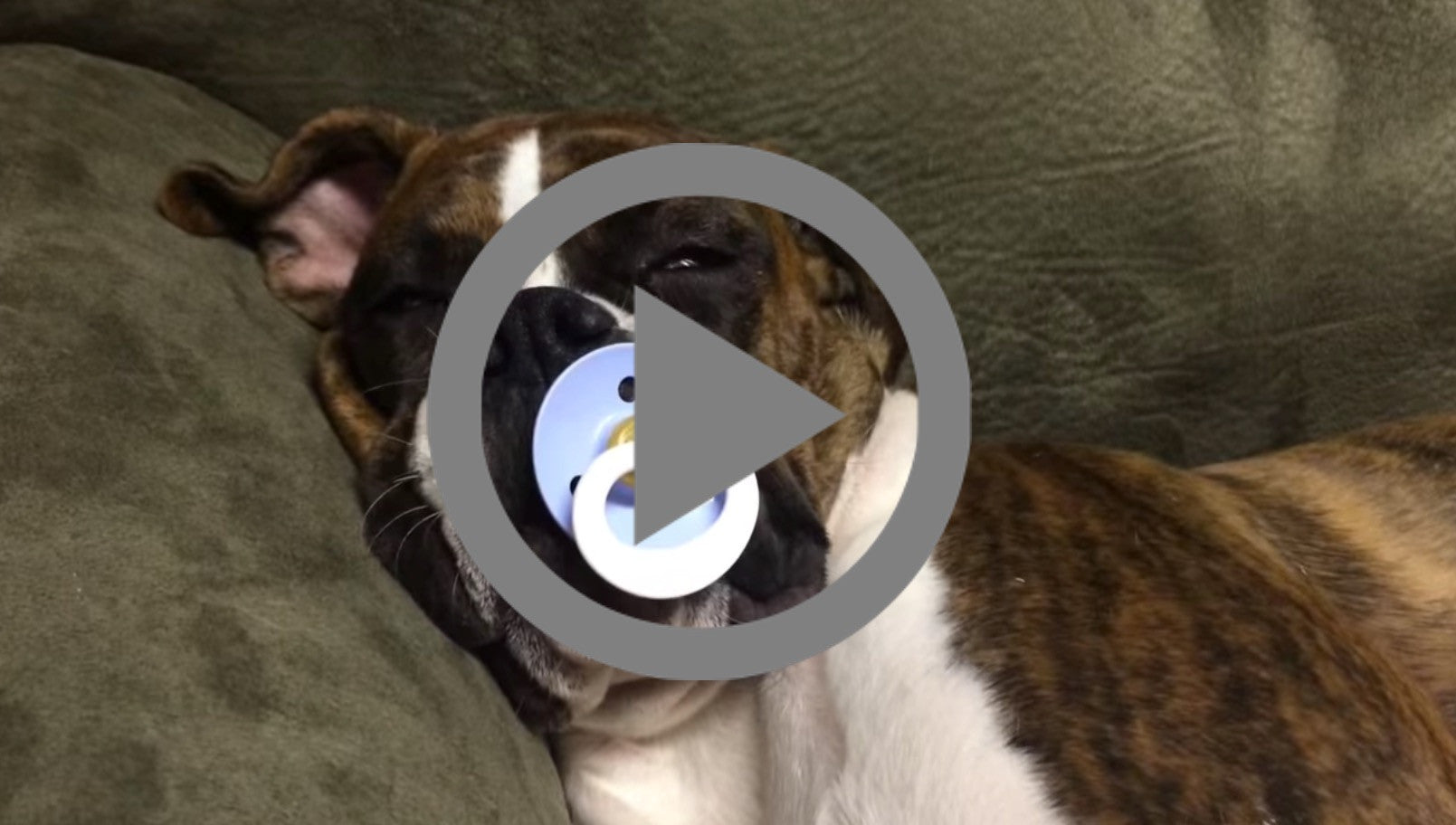 Treat Dreams From Leila the Boxer (Luke The Boxer's sister)