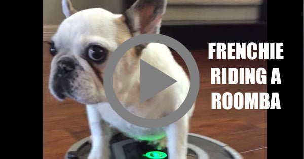 VIDEO Frenchie Versus a Roomba Vacuum
