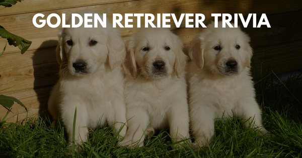 Golden Retriever Trivia