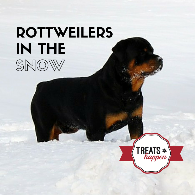 7 Rottweilers playing in the snow.