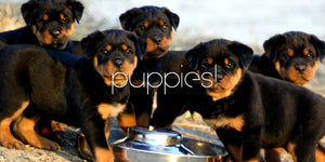 VIDEO 80 Seconds of Rottweiler Puppies