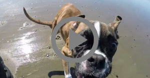 Duncan Lou the Two Legged Boxer Running on the beach