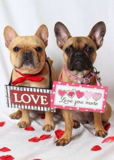 French bulldog's Valentine's Day love