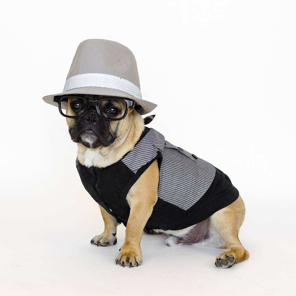 Marcel the Frenchie dressed up looking dapper