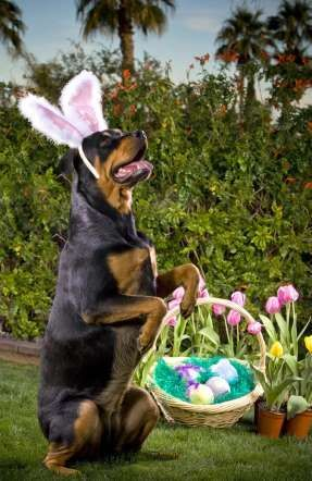 Rottweiler dressed as the Easter Bunny