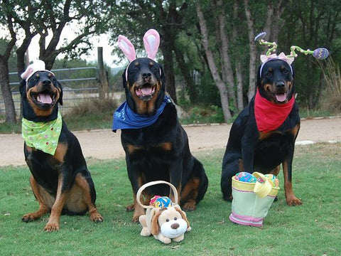 Three Rottweilers at Easter