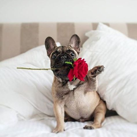 French Bulldog Holding a Valentine's day rose