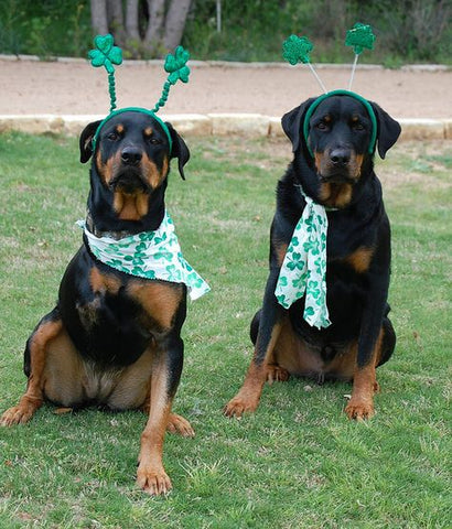 Two Rottweiler friends on St. Patrick's Day