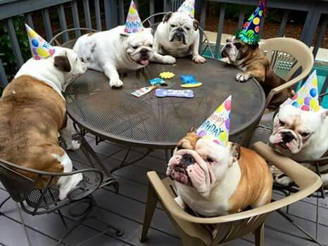 Bulldog party