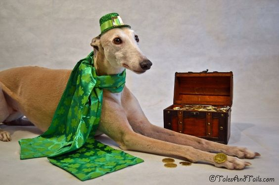 St Patrick's day greyhound