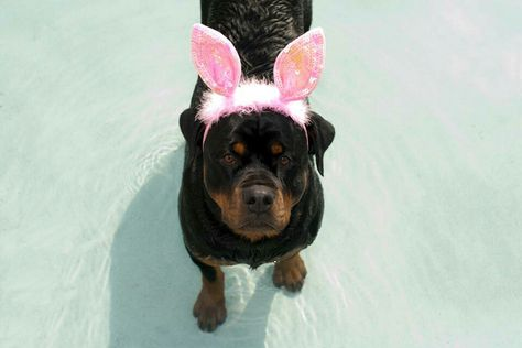 Rottweiler wearing pink rabbit ears