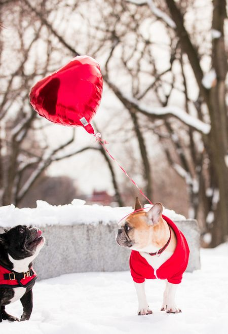 Frenchies outside on Valentine's day