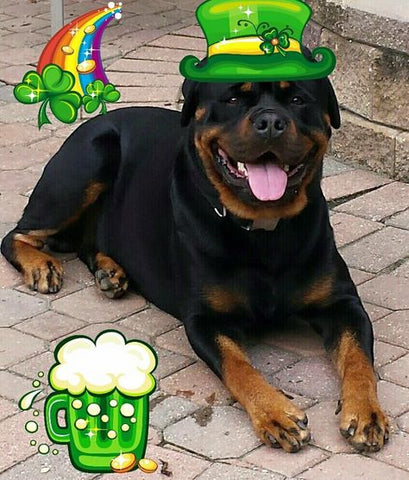 St. Patrick's Day Rottweiler