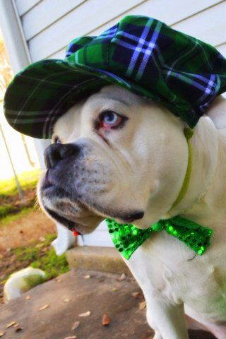 White Boxer Dog St. Patrick's Day