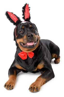 Rottweiler wearing red rabbit ears