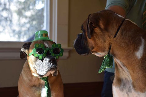 Two St. Patrick's day Boxer Dogs