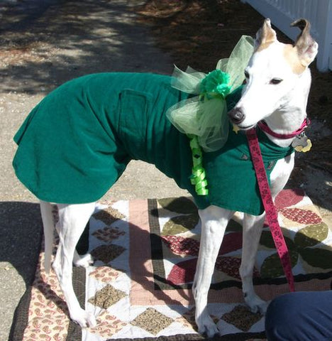 White Greyhound wearing Green for St
