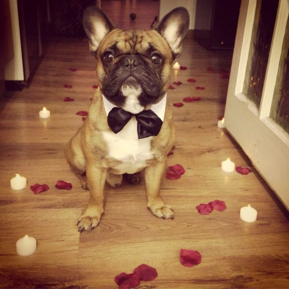 French Bulldog rose petals and candles