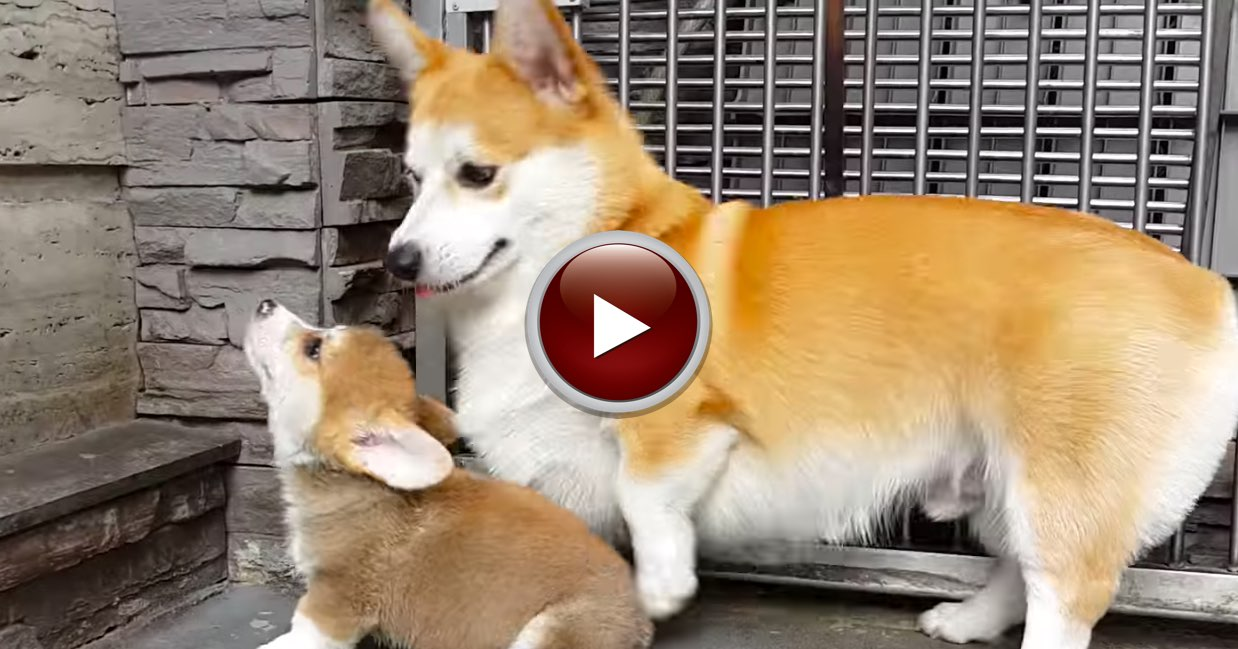 Zeus the Corgi teaches how to sit