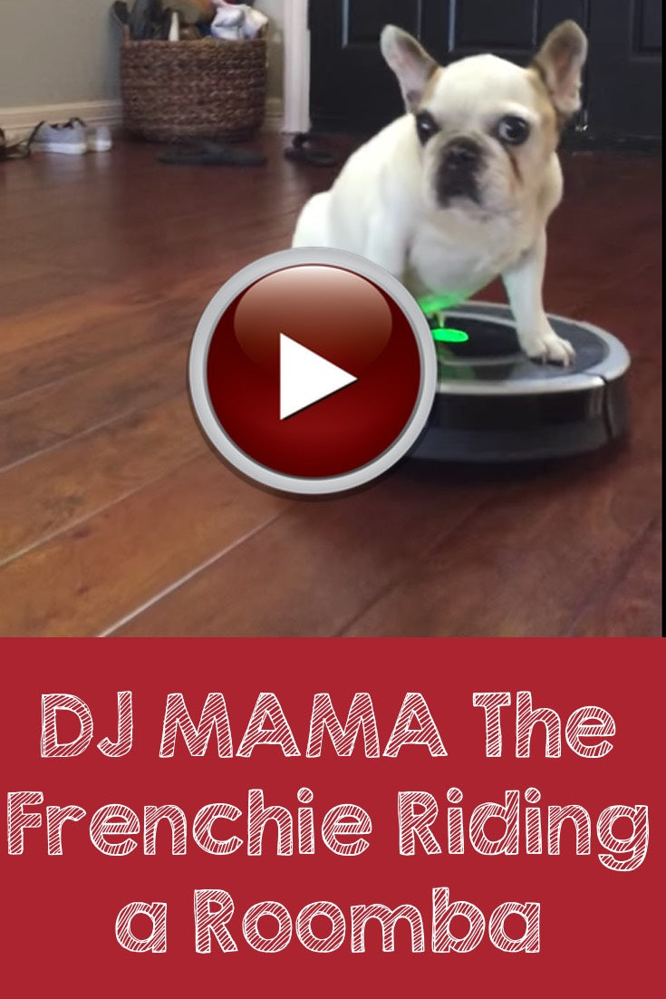DJ Mama the Frenchie riding a Roomba vacuum.
