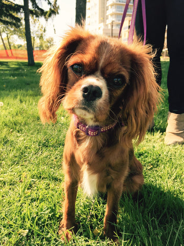 King Charles Spaniel Ruby is our grand prize winner