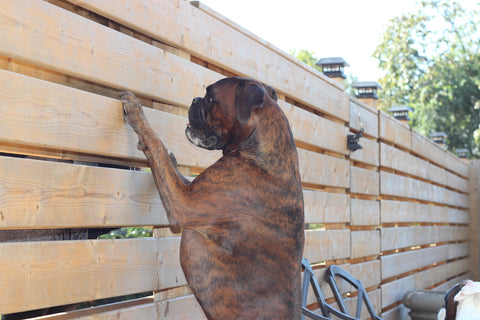 Boxer on his hind legs looking through the fence