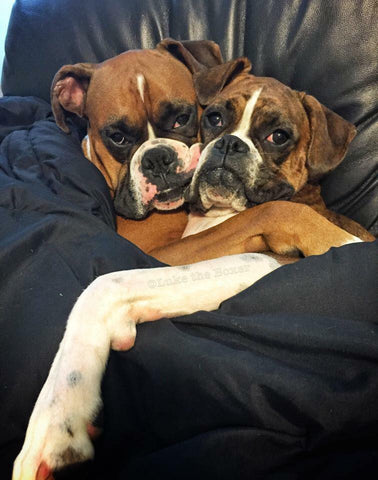 Luke the boxer cuddling with his sister