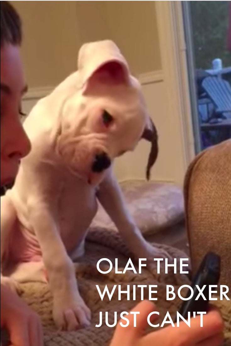Olaf The White Boxer Just Doesn't Understand and has the cutest head tilt