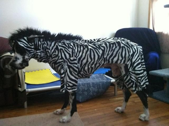Zeebra great dane jacket costume