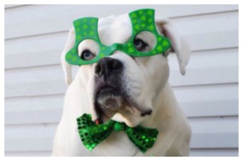 White Boxer Dog wearing St. Patrick's Day goggles