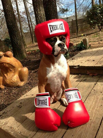 Boxer dog costume for Boxer & 47 cute fun and scary Halloween costumes for your Boxer - Treats ...