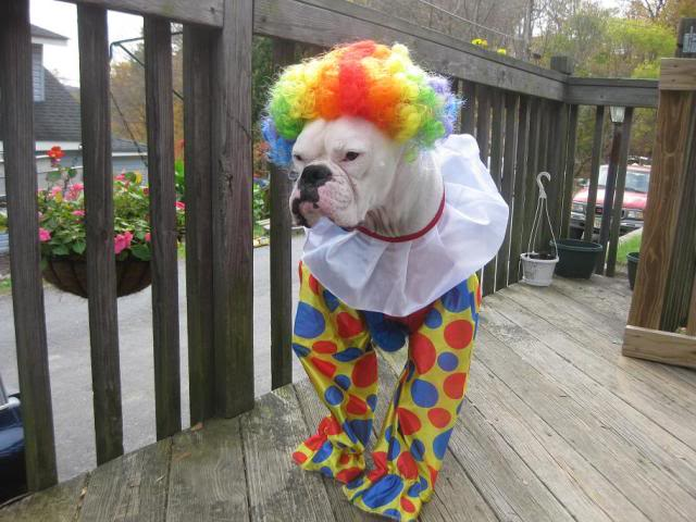 Clown Boxer Dog Costume & 47 cute fun and scary Halloween costumes for your Boxer - Treats ...