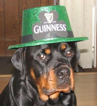 Rotweiler wearing Guinness St. Patrick's Day Hat