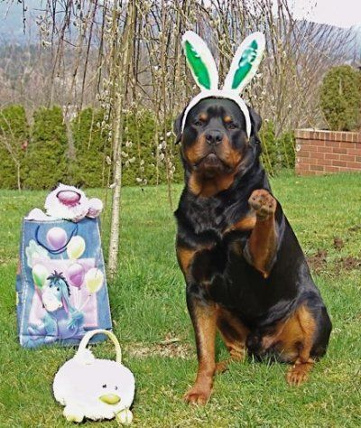 Rottweiler playing the role of the easter bunny