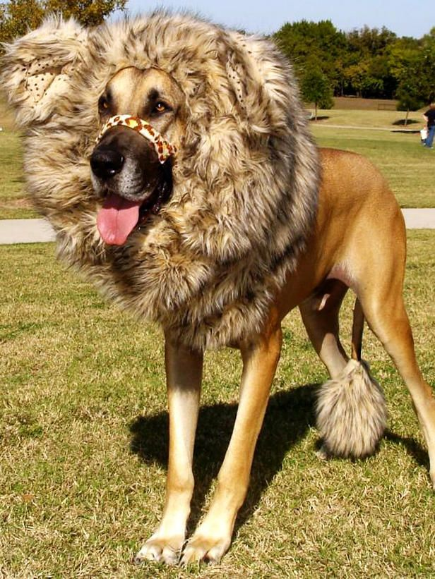 Lion Great Dane Costume