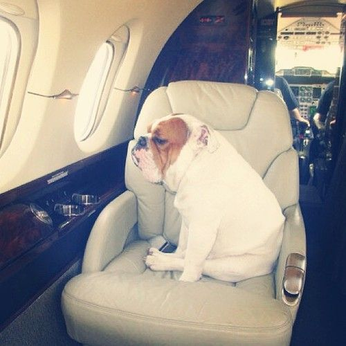 Dog on a private jet. White English Bulldog