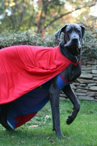Super Hero Great Dane Costume