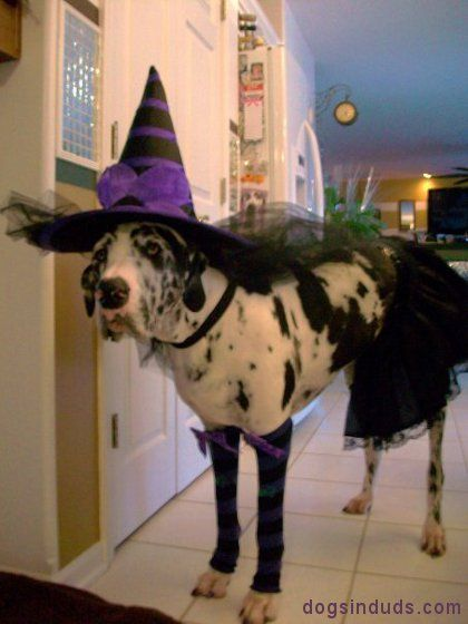 Witch Great Dane Costume