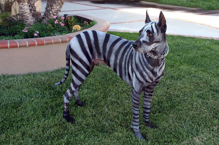 Zebra Great Dane Costume