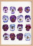 'A study of Violas' Botanical Fine Art Print