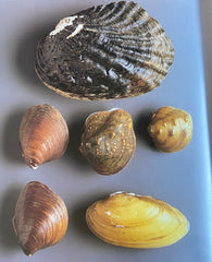 usa mussels