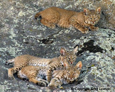 The Bobcat Bond - Greg Lawson Photography Art Galleries in Sedona
