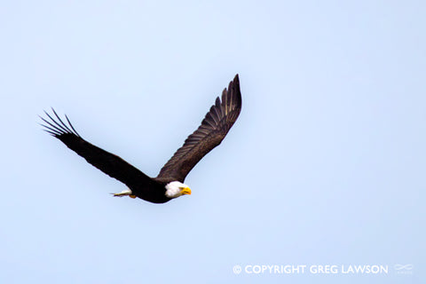 Eagle on the Wing - Greg Lawson Photography Art Galleries in Sedona
