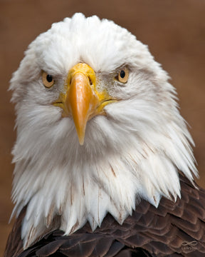 "Eagle's Gaze — 15""x12"" Aluminous™ Image"
