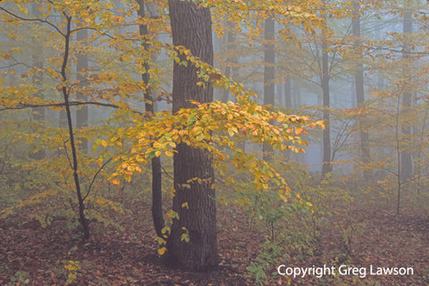 Czech Beech Forest - Greg Lawson Photography Art Galleries in Sedona
