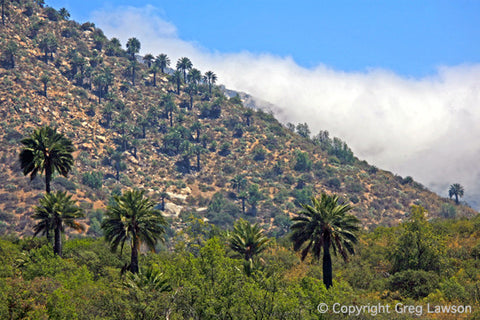 Wine Palms of Chile - Greg Lawson Photography Art Galleries in Sedona