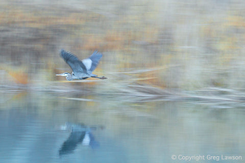 Great Blue - Greg Lawson Photography Art Galleries in Sedona