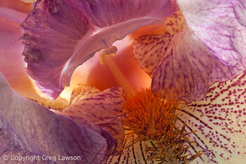 Intimate Iris - Greg Lawson Photography Art Galleries in Sedona