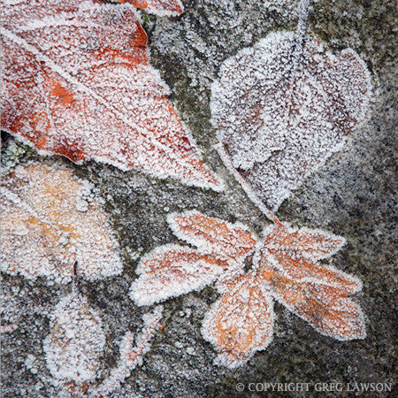 Cold Leaf - Greg Lawson Photography Art Galleries in Sedona