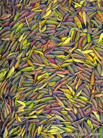 Pistacia Mosaic - Greg Lawson Photography Art Galleries in Sedona